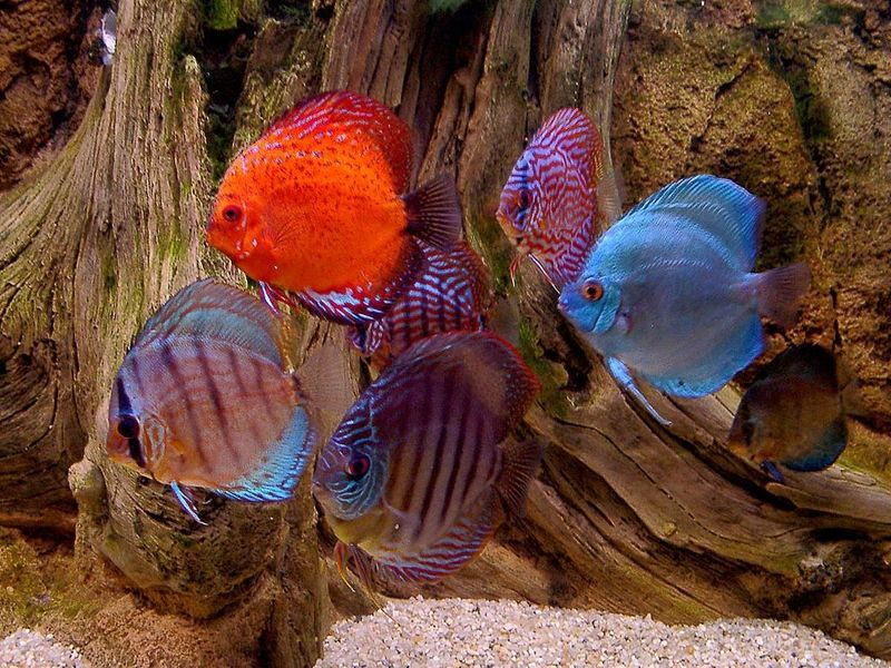 Discus Fish on Pinterest | Tropical Fish, Aquarium and Fish